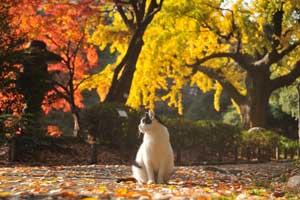 日比谷公園の野良猫とモミジ紅葉とイチョウ黄葉