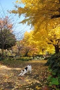 日比谷公園のイチョウの黄葉/紅葉と三毛猫のさくらちゃん