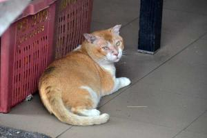 Singapore Little India Cat