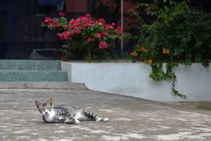 Singapore Cat & Bougainvillea