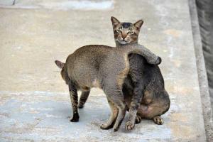 Singapore Cats