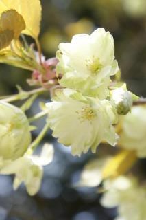 比叡山 鬱金桜