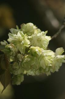 比叡山 御衣黄桜
