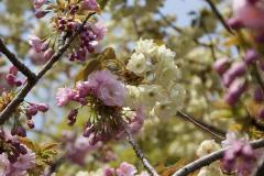 比叡山 楊貴妃と鬱金桜