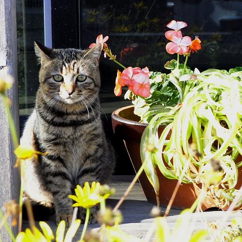 入舟うどんさんの庭にいるネコ