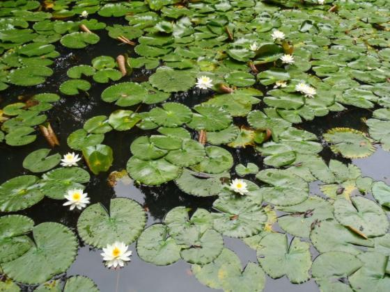09 スイレンの池