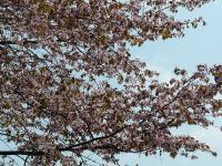 葉っぱも桜色