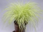 斑入り書帯草