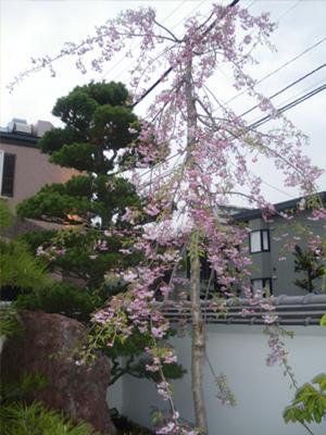 厚別店の桜