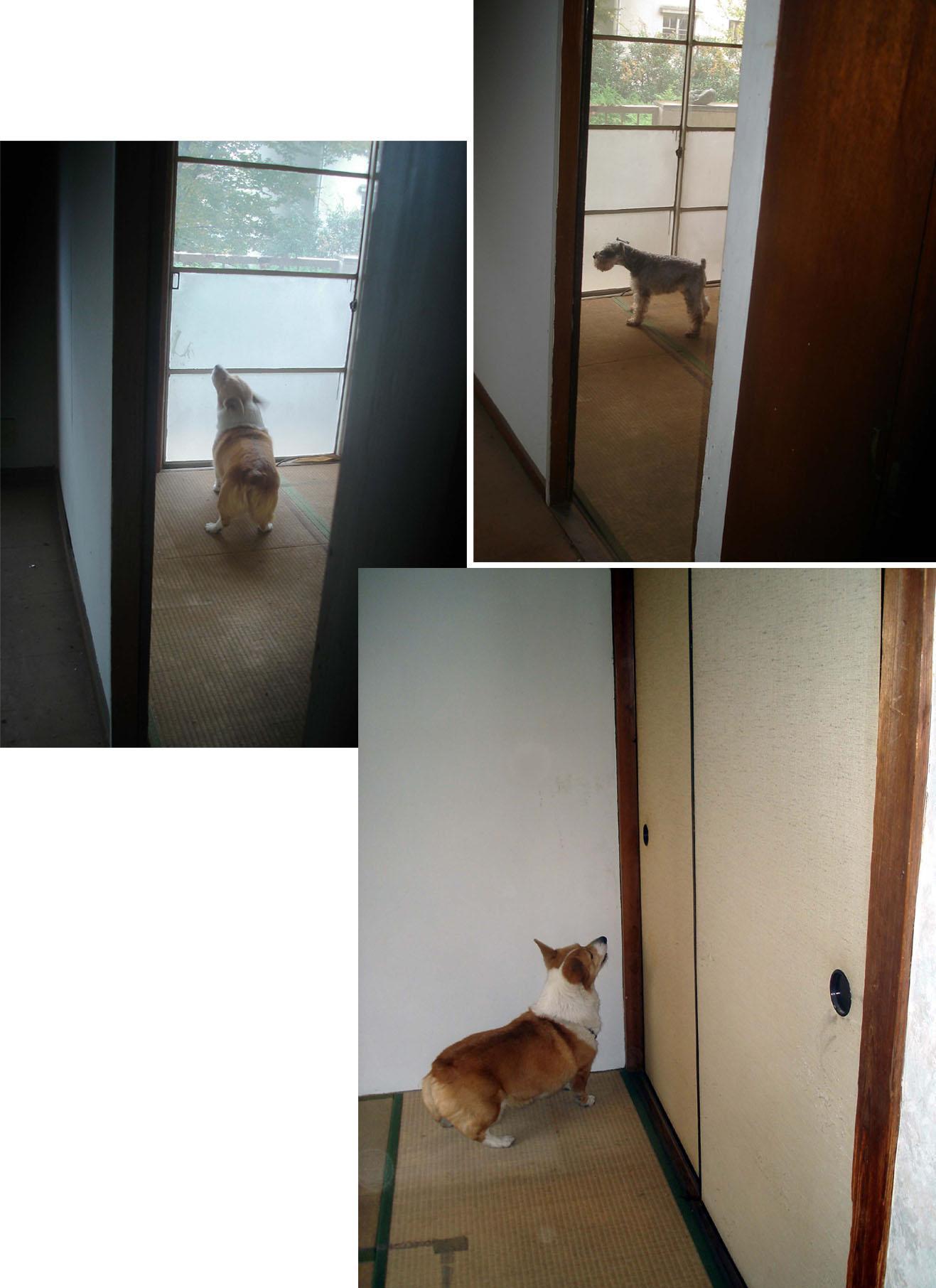 ③壁と窓際の間に反応する犬~押入れに反応する犬