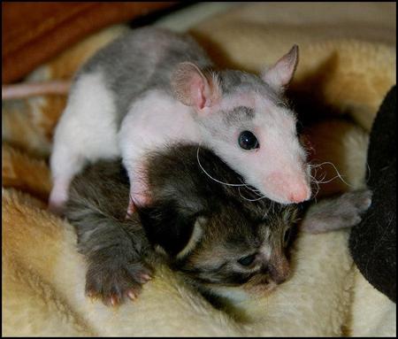 mousevscat.jpg