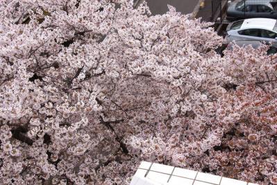 エントランス桜