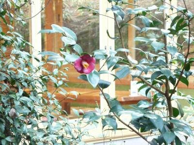 中庭藪椿2