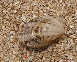 貝殻拾い0807-06