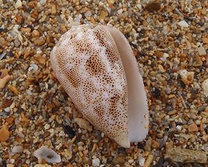 貝殻拾い0807-13