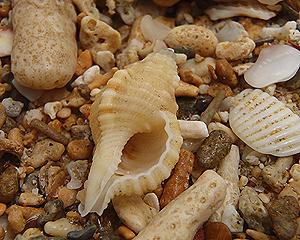 貝殻拾い0807-16