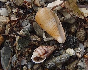 貝殻拾い0807-21