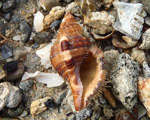 貝殻拾い0807-23