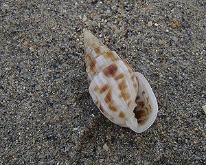貝殻拾い0807-26