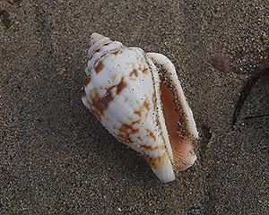 貝殻拾い0807-30