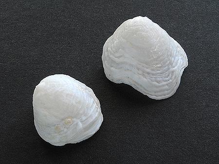 チリメンフウリンチドリ-大小