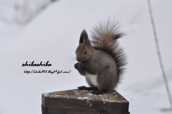 エゾリス 冬