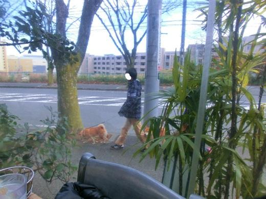 柴犬散歩中