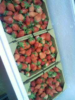 イチゴ狩り2