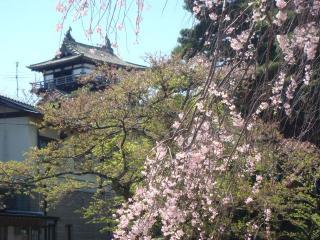 丸岡城.001桜