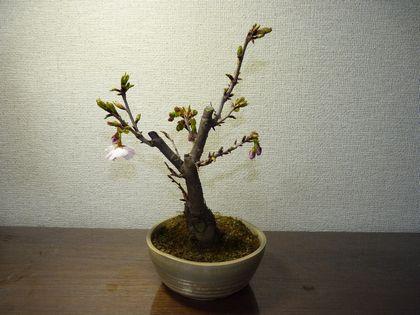 南殿桜です