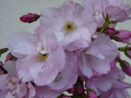 旭山桜 2咲 花