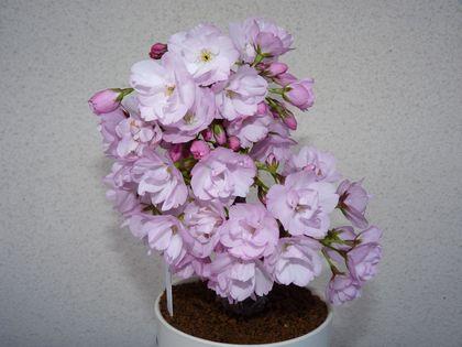 旭山桜 2咲です