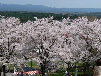 景色1(桜)