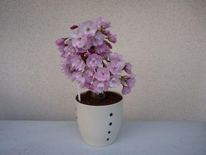 旭山桜 2咲の全体です。