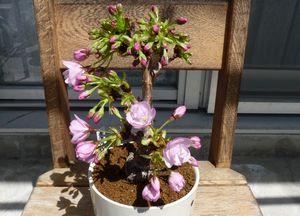 旭山桜の2咲です。
