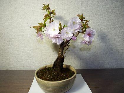 南殿桜です。