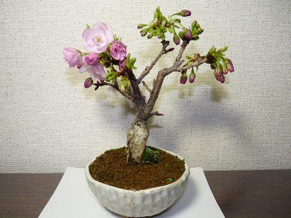 旭山桜 1咲です