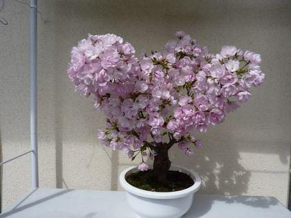 旭山桜 3咲です