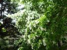 ヒトツバタゴ花