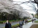 龍岡門桜2010