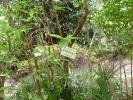 日本庭園ムラサキシキブ