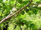 日本庭園梅の実