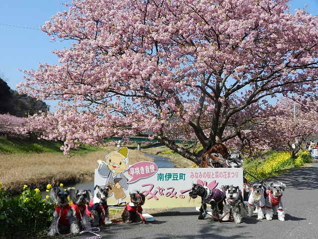 河津桜 2013