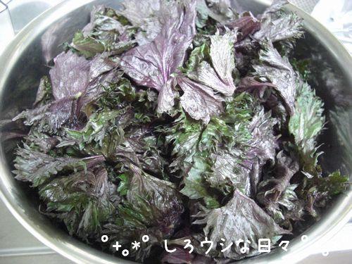 umeboshi_10.jpg