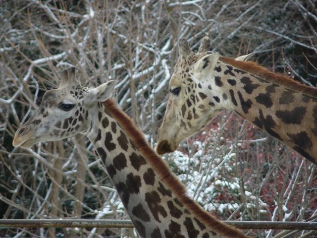 円山動物園キリン