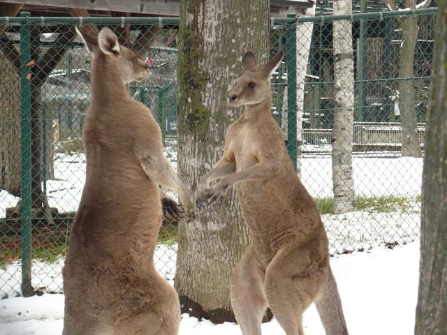 円山動物園カンガルー