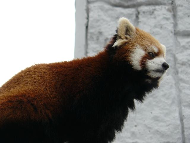 円山動物園レッサーパンダ