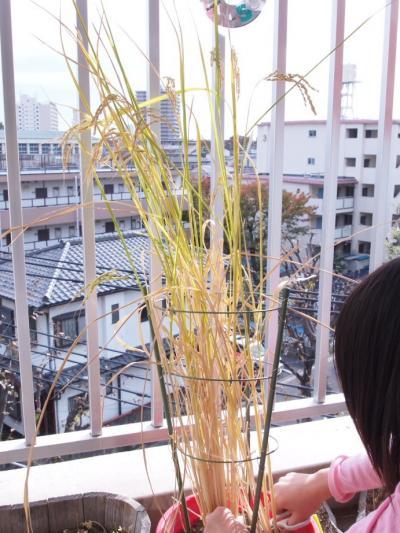 ベランダ米稲刈り