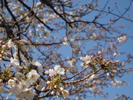 桜(3月27日)