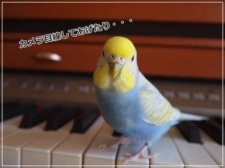 ピーちゃんピアノの上でカメラ目線